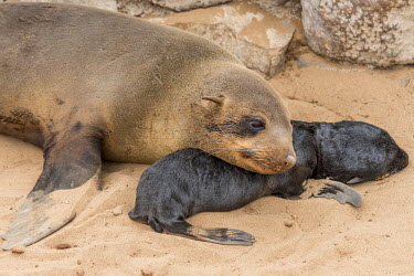 NAM6352AW Africa, Namibia, Cape Cross. Seals, mother with newborn
