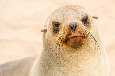 NAM6354AW Africa, Namibia, Cape Cross. a seal.