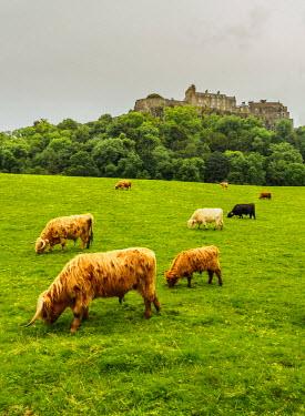 SCO34647AW UK, Scotland, Stirling, Highland cattles adn Stirling Castle.