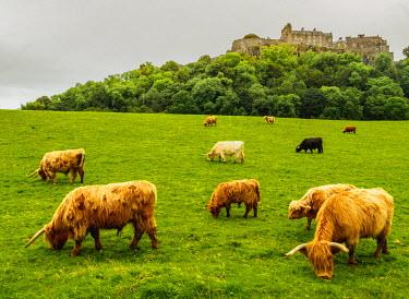 SCO34648AW UK, Scotland, Stirling, Highland cattles adn Stirling Castle.