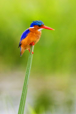 KEN10327 Kenya, Amboseli, Kajidado County. A Malachite Kingfisher.