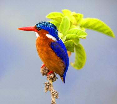 KEN10330 Kenya, Amboseli, Kajidado County. A Malachite Kingfisher.
