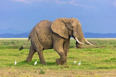 KEN10347 Kenya, Amboseli, Kajidado County.  A bull African elephant with Cattle Egrets.