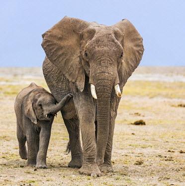 KEN10352 Kenya, Amboseli, Kajidado County.  A juvenile African elephant keeps close to its mother.