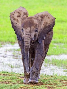 KEN10355 Kenya, Amboseli, Kajidado County.  A juvenile African elephant emerges from the Amboseli swamp.