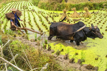 CH10713AW Zhejiang province, East China, farmer working in rice paddy with oxen.