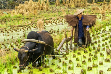 CH10715AW Zhejiang province, East China, farmer working in rice paddy with oxen.