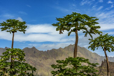 CVE0013AW africa, Cape Verde, Santo Antao. Papaya trees and mountains.