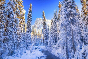 CAN3147AW Mt. Burgess & Snow-covered Pine Trees, Yoho National Park, British Columbia, Canada