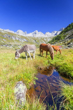 CLKRM51045 Horses and donkey in the green pastures Porcellizzo Valley Masino Valley Valtellina  Sondrio Province Lombardy Italy Europe