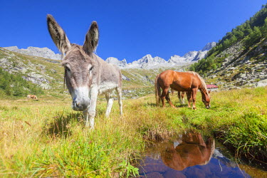 CLKRM51048 Donkey and horses in the green pastures of Porcellizzo Valley Masino Valley Valtellina  Sondrio Province Lombardy Italy Europe