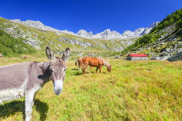 CLKRM51054 Donkey and horses in the green pastures of Porcellizzo Valley Masino Valley Valtellina  Sondrio Province Lombardy Italy Europe