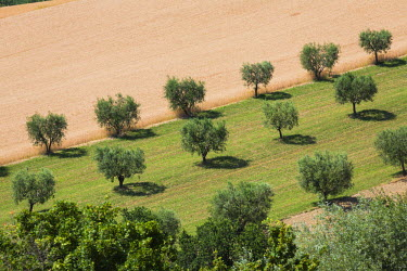 CLKRM51540 Cultivated fields and olive trees of the countryside Montelupone Province of Macerata Marche Italy Europe