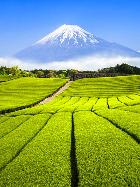 JAP1019AW Green Tea plantation in Shizuoka with Mount Fuji in the background, Shizuoka Prefecture, Japan