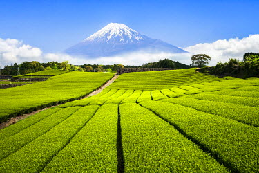 JAP1020AW Green Tea plantation in Shizuoka with Mount Fuji in the background, Shizuoka Prefecture, Japan