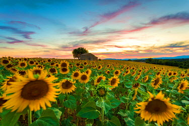 CLKFI32291 Valensole Plateau, Provence, France. Field full of sunflowers at sunset, lonely farmhouse