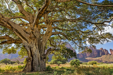 ETH3195 Ethiopia, Tigray Region, Korkor.  A large wild fig tree with the weathered red sandstone columns and peaks of the beautiful Gheralta Mountains in the distance.