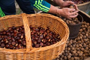 CLKDM53496 Chestnuts, Sorgono, Nuoro province, sardinia, italy, europe.