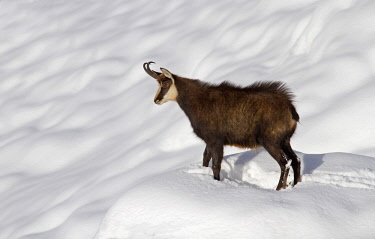 CLKER15787 Stelvio National Park,Lombardy,Italy.Chamois