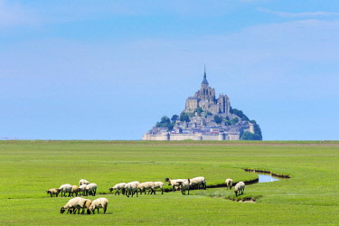 FRA9600AW France, Normandy (Normandie), Manche department, sheep grazing in front of Le Mont-Saint-Miichel.