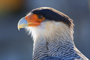 ARG2362AW South America, Andes, Patagonia, Argentina,  A Northern Crested Caracara (Caracara Cheriway)