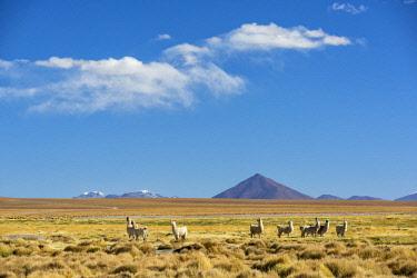 BOL8624AW South America, Andes, Altiplano, Bolivia, Llamas on Villamar Mallcu.