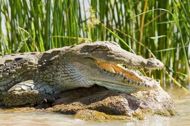 HMS0441345 Kenya, Baringo lake, Nile crocodile (Crocodylus niloticus)
