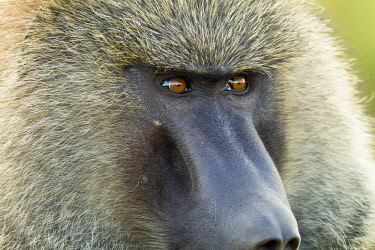 HMS0604601 Kenya, Masai Mara Game Reserve, Olive baboon (Papio hamadryas anubis), male