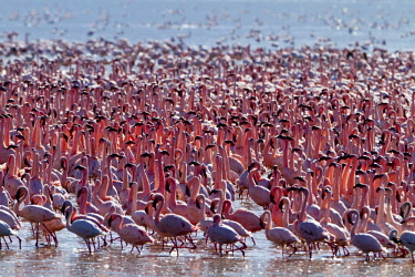 HMS0620878 Kenya, Great Rift Valley, Lake Bogoria National Reserve, lesser flamingo (Phoeniconaias minor), courtship display