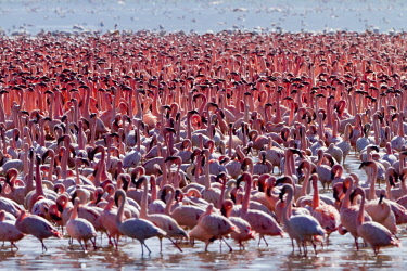HMS0620909 Kenya, Great Rift Valley, Lake Bogoria National Reserve, lesser flamingo (Phoeniconaias minor), courtship display