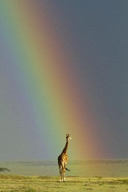 HMS0761015 Kenya, Masai Mara National Reserve, Girafe masai (Giraffa camelopardalis), and rainbow