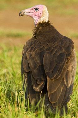 HMS0761346 Kenya, Masai Mara National Reserve, Hooded Vulture (Necrosyrtes monachus)