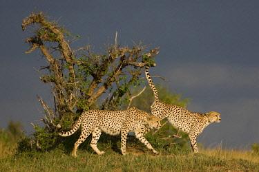 HMS0778206 Kenya, Masai Mara National Reserve, cheetah (Acinonyx jubatus), 2 of the 3 brothers marking