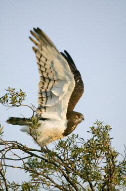 HMS0799573 Kenya, Masai Mara National Reserve, Black chested Snake Eagle (Circaetus pectoralis)