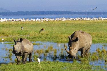 HMS1293613 Kenya, Nakuru national park, white rhino (Ceratotherium simum), mother and young and piscivorous birds