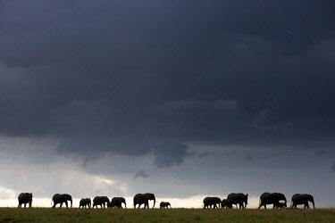HMS1721677 Kenya, Masai-Mara game reserve, Elephant (Loxodonta africana), storm