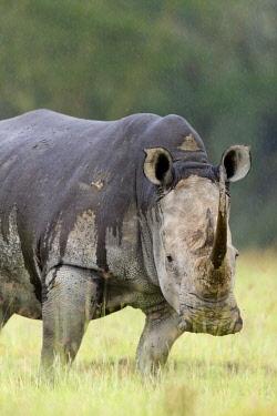 HMS1721720 Kenya, Nakuru national park, white rhino (Ceratotherium simum), under the rain