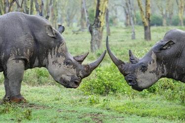 HMS1724286 Kenya, Nakuru national park, white rhinoceros (Ceratotherium simum) battle in the rain