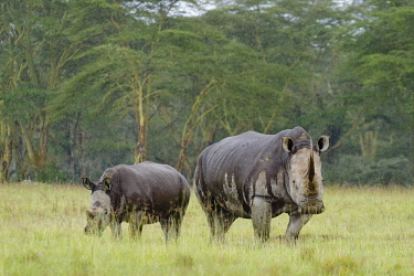 HMS1724287 Kenya, Nakuru national park, white rhinoceros (Ceratotherium simum), female and young under the rain