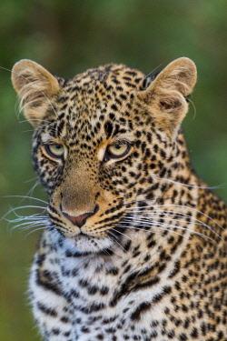 HMS1752729 Kenya, Masai-Mara game reserve, leopard (Panthera pardus)