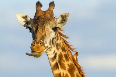 HMS1841339 Kenya, Masai-Mara game reserve, Girafe masai (Giraffa camelopardalis), feeding with an oxpecker on the neck