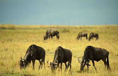 HMS2062322 Kenya, Masai Mara National Reserve, wildebeest (Connochaetes taurinus) grazing