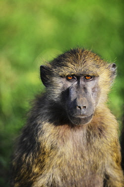 HMS2062331 Kenya, Lake Nakuru National Park, Olive baboon (Papio hamadryas anubis)