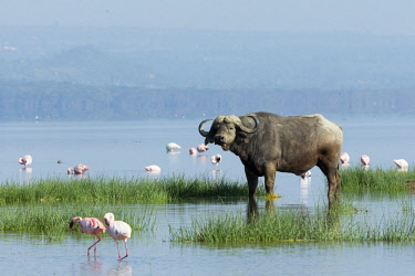 HMS2141051 Kenya, Nakuru national park, african buffalo (Syncerus caffer) and lesser flamingos (Phoeniconaias minor), on the flooded lake