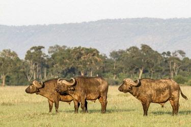 HMS2141058 Kenya, Masai Mara game Reserve, african buffalo (Syncerus caffer), males looking at lionesses