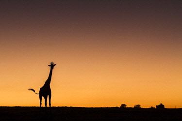HMS2141102 Kenya, Masai Mara Game Reserve, Girafe masai (Giraffa camelopardalis), at sunrise