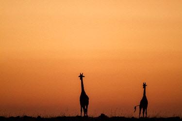 HMS2141107 Kenya, Masai Mara Game Reserve, Girafe masai (Giraffa camelopardalis), at sunrise