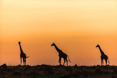 HMS2141111 Kenya, Masai Mara Game Reserve, Girafe masai (Giraffa camelopardalis), at sunrise