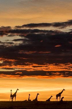 HMS2141120 Kenya, Masai Mara Game Reserve, Girafe masai (Giraffa camelopardalis), herd at sunrise