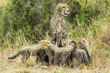 HMS2141146 Kenya, Masai Mara game Reserve, cheetah (Acinonyx jubatus), female and cubs 8/9 weeks old